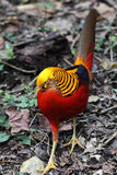 Golden Pheasant (Chrysolophus pictus). Walking on the forest floor Stock Photography