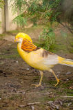 Golden pheasant Chrysolophus pictus. Golden pheasant walking on the ground Stock Images