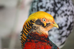 Golden pheasant. A close-up of a golden pheasant Stock Photo