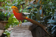 Golden pheasant. Close up shot of golden pheasant portrait Royalty Free Stock Photo