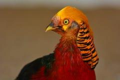 Golden pheasant closeup Stock Image