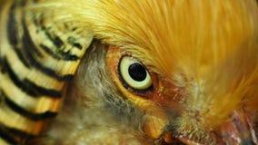 Golden Pheasant eye. Through the eyes of the captive bird royalty free stock photos