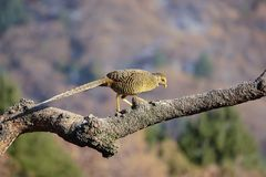 Golden Pheasant. A female Golden Pheasant stands on tree trunk. Scientific name: Chrysolophus pictus Royalty Free Stock Photography