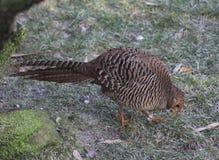 Golden pheasant Royalty Free Stock Photos