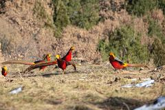 Golden Pheasant. Five male Golden Pheasant are searching for foods on ground in mountain forest. Scientific name: Chrysolophus pictus Royalty Free Stock Image