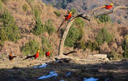 Golden Pheasant. Five male Golden Pheasant are searching for foods in mountain forest. Scientific name: Chrysolophus pictus Royalty Free Stock Image