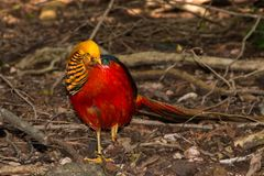 Golden Pheasant foraging full length standing on the ground facing the camera stock images