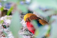 The golden pheasant stock photography