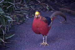 A golden pheasant. The golden pheasant is walking along the path royalty free stock photo