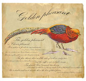 Golden Pheasant - An hand painted vector Stock Photography