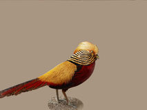 Golden pheasant Royalty Free Stock Photo
