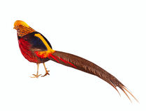 Golden pheasant. Isolated over white Royalty Free Stock Photography