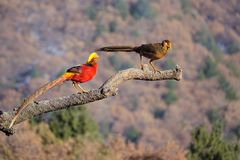 Golden pheasant. A male adult and a subadult of golden pheasant stand on tree trunk  in mountain forest. Scientific name: Chrysolophus pictus Royalty Free Stock Photography