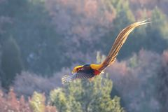 Golden pheasant. The male Golden pheasant flies in mountain forest. Scientific name: Chrysolophus pictus Royalty Free Stock Image