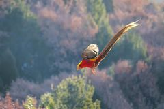 Golden pheasant. A male Golden pheasant is flying in mountain forest. Scientific name: Chrysolophus pictus Royalty Free Stock Photos
