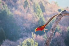 Golden Pheasant. A male Golden Pheasant flies away from tree trunk. Scientific name: Chrysolophus pictus Royalty Free Stock Photography