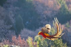 Golden pheasant. The male Golden pheasant flies in mountain forest. Scientific name: Chrysolophus pictus Stock Image