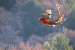 Golden pheasant. The male Golden pheasant flies in mountain forest. Scientific name: Chrysolophus pictus Stock Photo