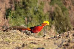 Golden pheasant. A male Golden pheasant stands on ground in mountain forest. Scientific name: Chrysolophus pictus Royalty Free Stock Image