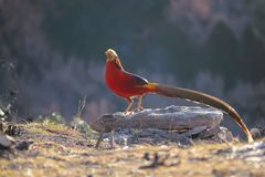 Golden pheasant. A male Golden pheasant stands on rock in mountain forest. Scientific name: Chrysolophus pictus Royalty Free Stock Images