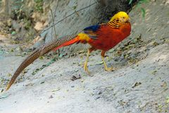 Golden pheasant. A male Golden pheasant walks on ground. Scientific name: Chrysolophus pictus Stock Photography