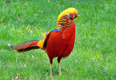 Golden Pheasant. A male Golden pheasant in the grass. Scientific name: Chrysolophus pictus Stock Images