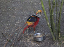 Golden pheasant Stock Photo