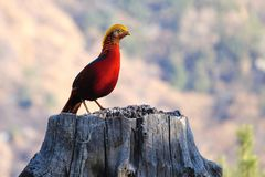 Golden pheasant. The male golden pheasant stands on tree stool. Scientific name: Chrysolophus pictus Royalty Free Stock Photo