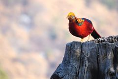 Golden pheasant. The male golden pheasant stands on tree stool. Scientific name: Chrysolophus pictus Royalty Free Stock Photography