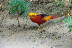 Golden pheasant. A male Golden pheasant walks on ground. Scientific name: Chrysolophus pictus Stock Photo