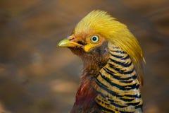 Golden Pheasant Stock Images