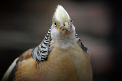 Golden pheasant. Royalty Free Stock Images