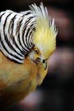 Golden pheasant. Stock Images