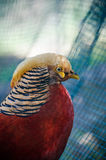 Golden pheasant in the nature of the country. Stock Photography
