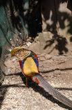 Golden pheasant in the nature of the country. Royalty Free Stock Photography
