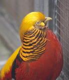 Golden pheasant Stock Photography
