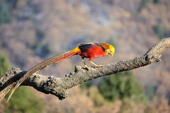 Golden pheasant. One Golden pheasant stands on tree trunk. Scientific name: Chrysolophus pictus Royalty Free Stock Photo