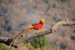 Golden Pheasant. One male golden Pheasant stands on tree trunk. Scientific name: Chrysolophus pictus Royalty Free Stock Images