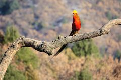 Golden pheasant. One Golden pheasant stands on tree trunk. Scientific name: Chrysolophus pictus Stock Image