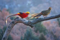 Golden pheasant. A pair of Golden pheasant stand on tree trunk in mountain forest. Scientific name: Chrysolophus pictus Royalty Free Stock Photo