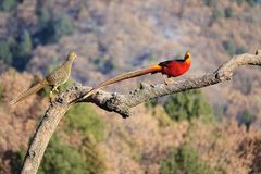 Golden pheasant. A pair of golden pheasant stand on tree trunk in mountain forest. Scientific name: Chrysolophus pictus Stock Photo