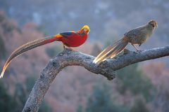 Golden Pheasant. A pair of Golden Pheasant stand on tree trunk. Scientific name: Chrysolophus pictus Royalty Free Stock Photography