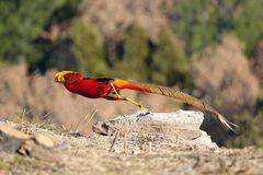 Golden pheasant. The Golden pheasant runs away quickly. Scientific name: Chrysolophus pictus Stock Photography