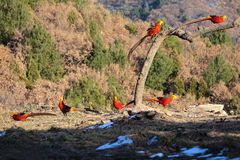 Golden pheasant. Six male golden pheasant stand in mountain forest. Scientific name: Chrysolophus pictus Royalty Free Stock Image