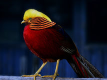 Golden Pheasant. A station on the trunk of Golden Pheasant royalty free stock image