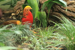 Golden pheasant. Strolling on the grass royalty free stock photography
