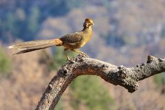 Golden pheasant subadult. One Golden pheasant subadult stands on tree trunk. Scientific name: Chrysolophus pictus stock images