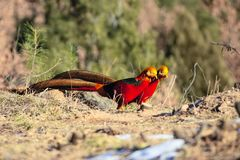 Golden Pheasant. Two male Golden Pheasant are searching for foods on ground in mountain forest. Scientific name: Chrysolophus pictus Royalty Free Stock Photography