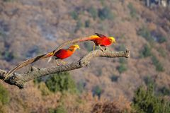 Golden pheasant. Two male golden pheasant stand on tree trunk  in mountain forest. Scientific name: Chrysolophus pictus Royalty Free Stock Images
