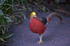 A golden pheasant. The golden pheasant is walking along the path royalty free stock photography